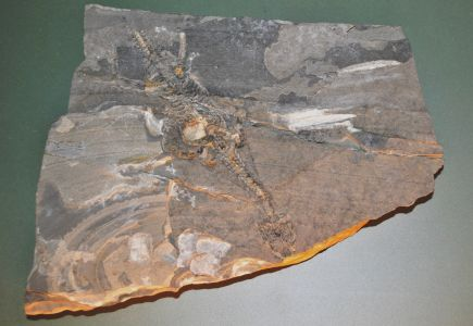 Rèptil (Lariosaurus balsami)