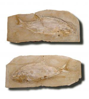 Colobodus giganteus